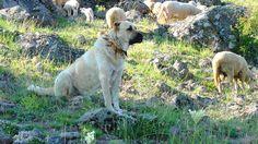 Turkish Kangal Dog Kangal Dog, Maremma Sheepdog, Best Guard Dogs, Dog Yard, Anatolian Shepherd, Crazy Dog Lady, Great Pyrenees, Dog Agility, Mountain Dogs