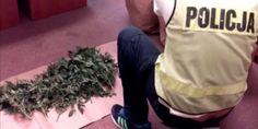 Plantacja marihuany znaleziona na poddaszu mieszkania w Ustce. Policja zatrzymała 24-letniego mieszkańca Ustki. #ustka24info