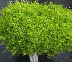 Sagina subulata, Aurea Scotch moss