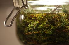 Oregano tea has been utilized for centuries all across the world. Why? Maybe because it has an abundance of healing agents and immune boosters that can heal.