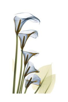 Art Print: Cascading Calla Lilies by Albert Koetsier : Art Prints, Watercolor Art, Colorful Art, Floral Wall Art, Art Painting, Drawings, Flower Art, Albert Koetsier, Xray Art