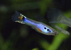 Lazuli Platinum Japanblue