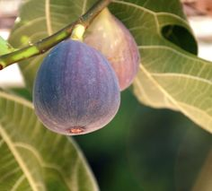 Figs: Learn the Secrets to Large Harvests