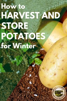 How to grow and dig up potatoes. Tips for how to store potatoes so they last for months. If you grow potatoes in the garden, in containers or pots, here is how to harvest potatoes for eating. #growpotatoes #potatoes #gardening #foodstorage #digpotatoes #potatoplants #storingpotatoes #vegetablegardening Canning Jars, Canning Recipes, How To Make Sauce, How To Store Potatoes, Grow Potatoes, Smoked Fish, Fish And Meat, Emergency Food, Dehydrated Food