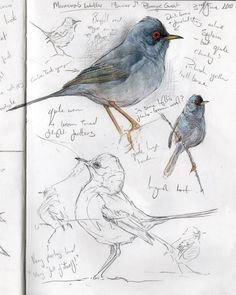 Sketching Steph' Thorpe / Bird Artist and Illustrator - Artwork of bird species from the British Isles and beyond (specialist in UK Rare birds). Bird Artists, Bird Sketch, Nature Sketch, Arte Sketchbook, Illustrator, Nature Journal, Bird Drawings, Sketchbook Inspiration, Watercolor Bird