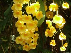 354 best yellow orchid images on pinterest yellow orchid lilies yellow orchid flower hd pix mightylinksfo