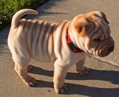 So stinkin' cute this little. However, bad memories of a Shar-pei mean I will never ever own one.