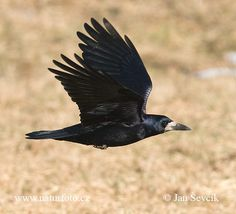 "Image for rook in palestine. declared unclean in the Law covenant (Le 11:13, 15; De 14:12, 14), and the phrase ""according to its kind"" is understood to embrace the crow and other apparently related crowlike birds such as the rook, the jackdaw, and the chough, all of which are to be found in Palestine."