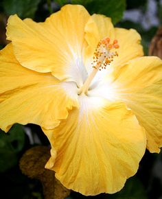 180 best Flowers   Hibiscus images on Pinterest   Hibiscus flowers     This flower reminds me of mom