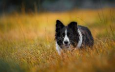 Download wallpapers 4k, Border Collie, pets, lawn, cute animals, dogs, Border Collie Dog