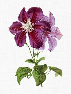 Flower Clip Art 'Purple Clematis' Vintage Botanical Digital Download for Planner…