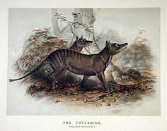 Josef Wolf, The Thylacine