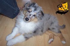 A beautiful Blue Merle Collie puppy.