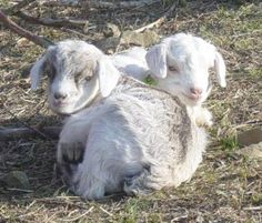 Cashmere goat farm in Italy. I want to go to there...