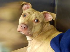 GONE --- TO BE DESTROYED 10/12/14 Manhattan Center   My name is MAIZE. My Animal ID # is A1016794. I am a female tan and br brindle pit bull mix. The shelter thinks I am about 3 YEARS old.  I came in the shelter as a STRAY on 10/08/2014 from NY 10457, owner surrender reason stated was STRAY.  https://www.facebook.com/photo.php?fbid=883800981632782