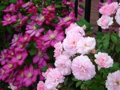 Roses and clematis, wonder if I can recreate this in town