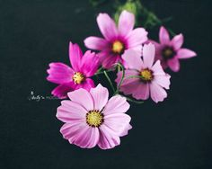 Cosmos Photography- Flower Photography, Pink Flowers Photo, Flowers on Black Print, Dark Floral Print, Cosmos Flowers Print, Pink and Black by kellynphotography on Etsy