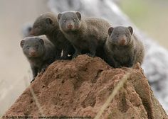 Mongoose | Mongoose pictures including both the banded mongoose and the cute ...