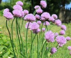 Wildlife garden Chives Great for bees and keeps Aphids away from Roses, ideal companion planting.