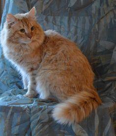 My handsome Siberian cat Big Red.