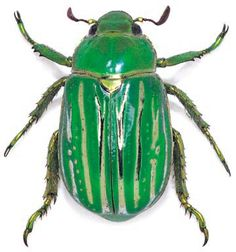 Chrysina gloriosa by Poul Beckmann---one of my favorite beetles