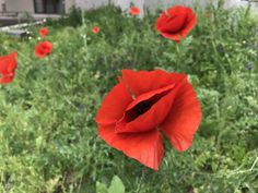 Poppies time