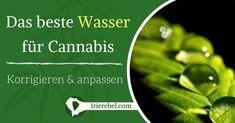 Wasser ist neben Licht und Nährstoffen für das Leben von Cannabis-Pflanzen von entscheidender Bedeutung. Es ist nicht nur die Photosynthese unerlässlich, sondern reguliert auch die Temperatur im…Mehr Celery, Herbs, Vegetables, Distilled Water, Photosynthesis, Roots, Plants, Tutorials, Life