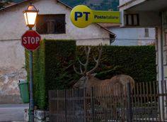 #Parco d' #Abruzzo, c'è un #cervo alle #poste: è Oreste - #animali #PNALM #LAquila