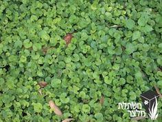"""דיכונדרה - Dichondra מכונה """"דשא יפני"""" משמש כתחליף לדשא במקומות מוצלים באזורים חמים נראה במיטבו בחורף ובעונות מעבר יוצר ספיח"""
