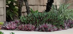 Oyster Plant, Moses-in-the-cradle Purple Ground Cover, Oyster Plant, Full Sun Plants, Companion Planting, Tropical Garden, Garden Planters, Garden Inspiration, Oysters, Landscape