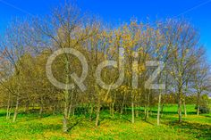 Qdiz Stock Photos | Autumn Trees on Field,  #autumn #background #beautiful #beauty #blue #branch #cloud #colorful #day #environment #field #foliage #grass #green #idyllic #land #landscape #lawn #leaf #leaves #meadow #nature #nobody #outdoors #park #plant #scenery #scenic #season #sky #sunlight #sunny #tranquil #tree #view #weather #wood #yellow
