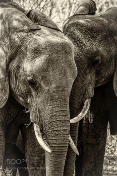 Elephant Close Up by LukeWhitman