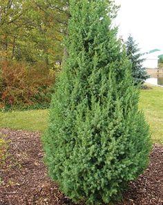 A Narrow Symmetrical Upright Juniper Intense Silvery Blue Foliage Is Very Tight