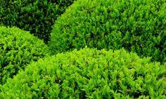 Boj El boj es un arbusto que alcanza entre dos y doce metros de altura. Sus hojas verdes y redondeadas tienen una longitud entre uno y cinco centímetros de longitud.  Nombre común: Boj  Nombre científico: Buxus sempervirens  Origen: Europa  Familia: Buxaceae  Ubicación: Exterior  Luz: Sol o sombra parcial  Temperatura: Temperaturas bajas, hasta -15ºC  Riego: moderado