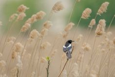 Magpie photographed in Delta Vacaresti near Bucharest City.  @ andrei raceala
