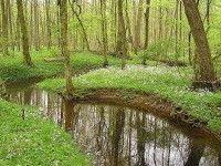 Pinksterbloem in een Duits bos