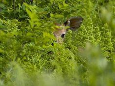 Peek-a-boo fawn