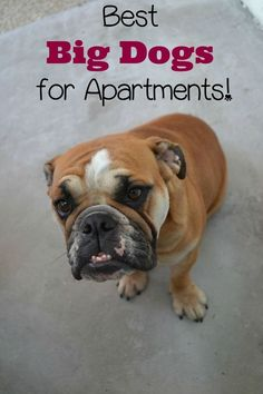 If you have an apartment, but you don't want a small dog, this list of the best big dogs for apartments is for you. There are big dogs perfect for you!