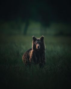 Mikko Malminen, «Curious young boy 🐻». Young Boys, Brown Bear, Finland, Animals, Baby Boys, Animales, Animaux, Animal Memes, Animal