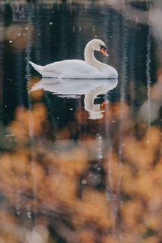 Beautiful white swan in the pond Water Background, Bokeh Background, Dark Blue Background, Watercolor Background, Textured Background, Swan Pictures, Concept Art Tutorial, Watercolor Paper Texture, Gifs