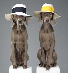 Cães da raça weimaraner posaram como modelos de uma coleção de roupas de luxo. Ficaram estilosos de chapéu, não acha? (Foto: Reprodução)
