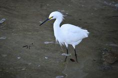 Snowy White Egret, Wildlife, Bird, White, Egret, Nature