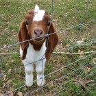 Funny Goat 18 | FunnyPica.com