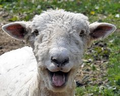 Happy Sheep by Bob Jagendorf, via Flickr