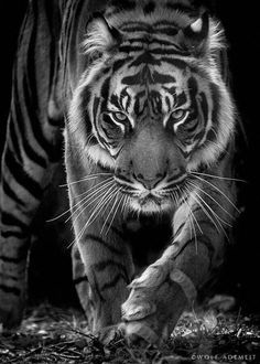 ~~born to be wild ~ b&w of a fierce tiger! by Wolf Ademeit~~ ~~born to be wild ~ b&w of a fierce tiger! by Wolf Ademeit~~ Tiger Pictures, Animal Pictures, Tiger Fotografie, Beautiful Cats, Animals Beautiful, Beautiful Life, Big Cats, Cats And Kittens, Chat Lion