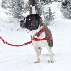 Konečne sneeeeeeh by pesbrunosk Dog Bows, Boston Terrier, Dogs, Instagram Posts, Animals, Tie, Boston Terriers, Animales, Animaux