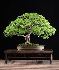 This Brazilian Rain Bonsai Tree's lush, perfectly balanced canopy almost shimmers with life.