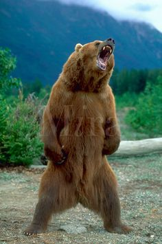An Alaskan Brown Bear standing and growling in Chilkat Valley, Alaska. Ours Grizzly, Grizzly Bears, Urso Bear, Alaskan Brown Bear, Animals And Pets, Cute Animals, Angry Bear, Bear Pictures, Pictures Images