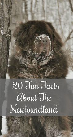 Meet the Newfoundland dog! 20 cool facts about the Newfie. Did you know that a Newfoundland named Seaman accompanied Lewis and Clark on their famous expedition? #NewfoundlandDog