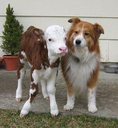 Dog and calf pals